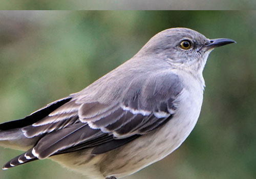 More Than Ruffled Feathers: Mockingbirds Show Heightened Aggression After Lead Exposure | Morris Animal Foundation | Muse Awards